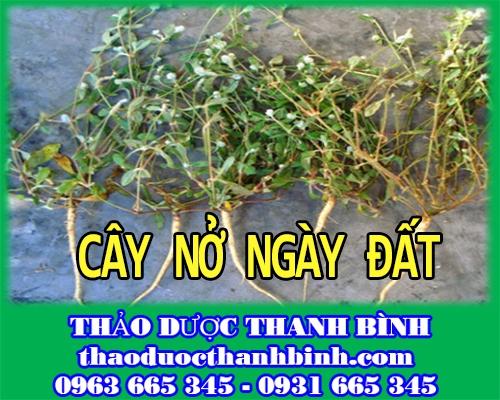 Cửa hàng bán cây nở ngày đất tại Cà Mau hỗ trợ trị bệnh gout tốt nhất