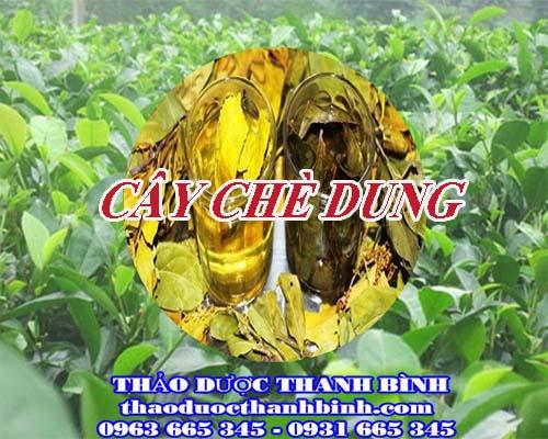 Mua bán cây chè dung tại Bắc Giang uy tín chất lượng nhất