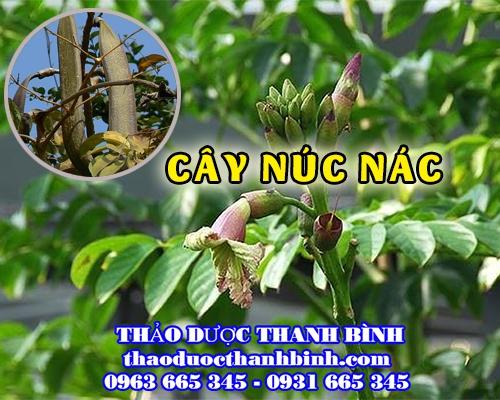 Mua bán cây núc nác tại Cà Mau điều trị viêm đường tiết niệu hiệu quả