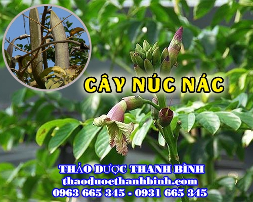 Mua bán cây núc nác tại Lạng Sơn giúp chữa táo bón kiết lỵ hiệu quả
