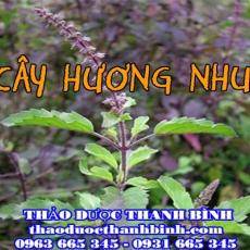 Cửa hàng bán cây hương nhu tại Đồng Nai giúp chữa cảm sốt tốt nhất