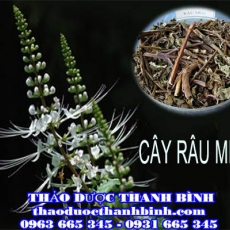 Cửa hàng bán cây râu mèo tại Cà Mau giúp trị bệnh thận tốt nhất