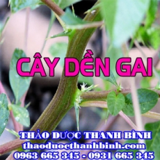 Cửa hàng bán dền gai tại Hà Nam ngăn ngừa sỏi thận tốt nhất