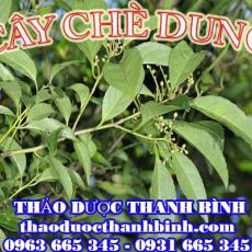 Địa chỉ mua bán cây chè dung tại Bắc Giang uy tín chất lượng