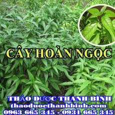 Địa chỉ mua bán cây hoàn ngọc tại Điện Biên giá tốt nhất