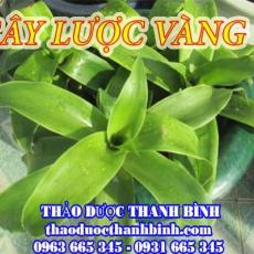 Địa chỉ mua bán cây lược vàng tại Điện Biên uy tín chất lượng