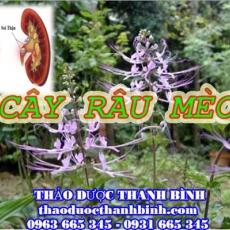 Địa chỉ mua bán cây râu mèo tại Cà Mau uy tín chất lượng