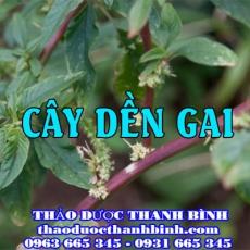 Địa chỉ mua bán dền gai tại Hà Nam giá tốt nhất