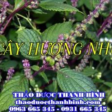 Địa điểm cung cấp cây hương nhu tại Đồng Nai uy tín chất lượng