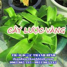 Mua bán cây lược vàng tại Điện Biên uy tín chất lượng nhất