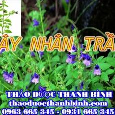 Địa chỉ mua bán cây nhân trần tại Bắc Giang uy tín chất lượng