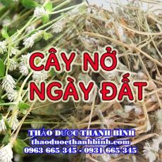 Mua bán cây nở ngày đất tại Cà Mau giúp điều trị bệnh Gout  tiểu đường hiệu quả