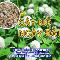 Mua bán cây nở ngày đất tại Cà Mau uy tín chất lượng nhất