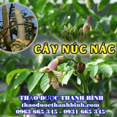 Mua bán cây núc nác tại Ninh Thuận điều trị viêm phế quản cấp và mãn tính
