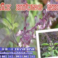 Mua cây hương nhu ở đâu tại Đồng Nai an toàn hiệu quả ???